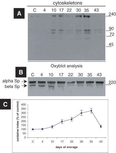 Increased RBC cytoskeletal protein carbonylation induced by storage in CPDA medium. (A) A representative oxyblot analysis, i.e. immunoblot analysis of cytoskeletons from a donor stained with the anti-DNP antibody. The duration of storage is indicated in days starting from blood donation. MW of the proteins is shown in kD (right-hand side). (B) Immunoblot of the cytoskeletons probed with anti-human spectrin antibody (internal loading control). (C) The estimation of the oxidative index of the cytoskeletal samples after normalization to control values. The points in the graphs represent the average values and the error bars the standard deviation among the six tested blood donors.