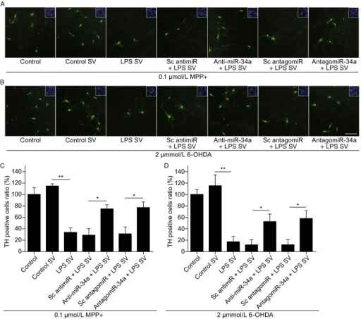 SVs derived from LPS-stimulated primary astrocytes enhance DA neurons loss after treatment with neurotoxins. (A and C) TH staining and quantification of the percentage of TH-positive cells among primary neurons pre-treated with different groups of SVs after 0.1 μmol/L MPP+ stress, *P < 0.05, **P < 0.01. Inset: DAPI staining of the cell nuclei in the field of view. (B and D) TH staining and quantification of the percentage of TH-positive cells among primary neurons pre-treated with different groups of SVs after 2 μmol/L 6-OHDA stress, *P < 0.05, **P < 0.01, scale bar = 200 μm. Inset: DAPI staining of the cell nuclei in the field of view. Control: a control group of neuron culture without SVs incubation; Control SV: SVs derived from primary astrocytes; LPS SV: SVs derived from LPS-stimulated primary astrocytes; anti-miR-34a + LPS SV: SVs derived from LPS-stimulated primary astrocytes transfected with miR-34a inhibitor; Sc antimiR + LPS SV: SVs derived from LPS-stimulated primary astrocytes transfected with scramble RNA; Sc antagomiR + LPS SV: SVs derived from LPS-stimulated primary astrocytes, and the primary neurons were pretreated with scramble antagomiR; antagomiR-34a + LPS SV: SVs derived from LPS-stimulated primary astrocytes, and the primary neurons were pretreated with antagomiR-34a
