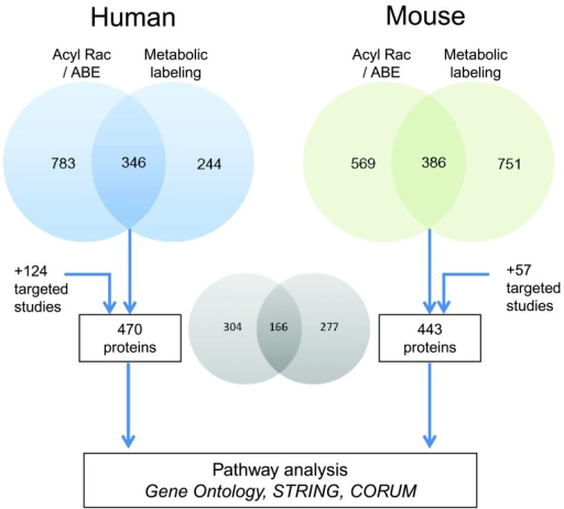 Strategy to obtain a high confidence list of 470 human and 443 mouse S-palmitoylation hits to perform ontology and network analysis of S-palmitoylation hits.