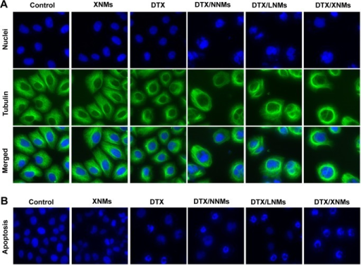 (A) Immunofluorescence images for nuclear staining (Hoechst33342: blue) and β-tubulin (FITC: green) following the treatment with different DTX formulations for 24 hours. (B) Fluorescence imaging analysis of apoptosis in A2780 cells.Abbreviations: DTX, docetaxel; XNMs, X-shaped (PLGA)2-SS-4-arm-PEG2000 polymer nanomicelles; LNMs, loaded linear (PLGA)2-SS-4-arm-PEG200 polymer nanomicelles; FITC, fluorescein isothiocyanate; PLGA, poly(lactic-co-glycolic acid); PEG, poly(ethylene glycol).