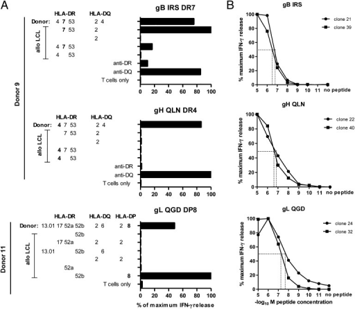 HLA restriction and functional avidity of CD4+ T cell clones specific for gB, gH, and gL. Representative examples of HLA restriction assays: clonal T cells were cocultured with either autologous or partially HLA-matched peptide-loaded LCLs, and IFN-γ was detected in the supernatant to analyze T cell activation (A). The functional avidity of CD4+ T cell clones specific for the same epitopes was investigated by preincubation of autologous LCLs with decreasing concentrations of the peptide, followed by measurement of IFN-γ release after incubation with T cells (B). Each experiment was carried out at least twice in duplicates.