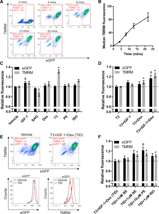 Using TMRM to Identify Modifiers of ΔΨp in hESC-Derived NKX2-5+ Cardiomyocytes(A) Time-course measurement of TMRM accumulation after cardiac differentiation of NKX2-5eGFP/w hESCs. fluorescence-activated cell sorting (FACS) plots show eGFP and TMRM fluorescence after 0, 4, 8, 13, and 22 min of loading with TMRM. A minor cross-bleed correction has been applied to all.(B) Median TMRM fluorescence intensity in eGFP+ cells plotted against loading time.(C) eGFP and TMRM fluorescence values in eGFP+ cardiomyocytes relative to a vehicle-only control after 5 days of incubation with the factors shown (n = 6–34).(D) eGFP and TMRM fluorescence values in eGFP+ cardiomyocytes relative to a T3-treated control after 5 days of incubation with the factors shown (n = 10–22).(E) Upper panel: example FACS plots showing measurement of a vehicle-only control alongside a T3+IGF-1+Dex-treated sample. Lower panel: histograms of eGFP and TMRM intensity in the eGFP+ populations as marked on the dot plots above.(F) eGFP and TMRM fluorescence values in eGFP+ cardiomyocytes relative to a T3+IGF-1+Dex-treated sample after 5 days of incubation with the factors shown (n = 11).Data are mean ± SEM. The n signifies biological replicates. Statistical significance compared to the vehicle-only control was calculated using a one-way ANOVA with Dunnett's correction, #p < 0.05 for eGFP fluorescence; ∗p < 0.05 for TMRM fluorescence. See also Figures S1 and S2.
