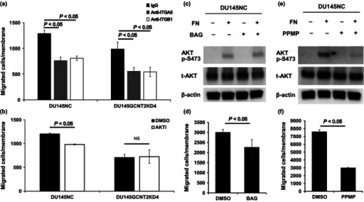 Glycolipids carrying I‐antigens play important roles in integrin‐mediated protein kinase B (AKT) phosphorylation and migration of prostate cancer cells. (a) Functional blocking antibodies against α5 and β1 integrins significantly inhibited cell migration in DU145NC and DU145GCNT2KD4 cells. (b) AKT phosphorylation at serine 473 (p‐S473) was inhibited by the AKT inhibitor VIII (AKTi; 10 mM), and cell migration was inhibited in DU145NC cells but not DU145GCNT2KD4 cells. (c) DU145NC cells were cultured with benzyl‐α‐GalNAc (BAG), DL‐threo‐1‐Phenyl‐2‐palmitoylamino‐3‐morpholino‐1‐propanol hydrochloride (PPMP), or DMSO for 48 h. (c) DU145NC cells were cultured with DMSO or BAG on fibronectin (FN)‐coated dishes for 20 min. Depletion of O‐glycan had no effect on AKT p‐S473. (d) DU145NC cells treated with BAG had significantly inhibited cell migration. Depletion of glycolipids in DU145NC cells significantly inhibited AKT p‐S473 (e) and migration (f). Migration assays were carried out in triplicate. NS, not significant; t‐AKT, total‐AKT.