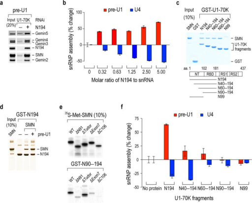 U1-70K bridges pre-U1 snRNA to SMN and mediates preferential Sm core assembly on U1 snRNA over other snRNAs(a) Western blot of SMN complex proteins bound to the biotinylated pre-U1 snRNA in U1-70K knockdown cell extracts complemented with recombinant U1-70K N194. The input lane shows 20% of the cell extracts and the N194 used for binding. (b) In vitro Sm core assembly activities on pre-U1 and U4 with increasing concentrations of N194 in U1-70K knockdown extracts. The rescued snRNP assembly capacities on snRNAs were determined by % changes from the U1-70K knockdown without N194. The error bars represent standard deviation from three independent biological replicates. (c) Binding of GST-U1-70K proteins to recombinant SMN protein. Schematic diagram of U1-70K and its deletion fragments with corresponding residue numbers are indicated. The input lane shows 10% of the SMN protein used for binding and the gel was visualized by Simplyblue staining. (d) Binding of GST-N194 to SMN in the absences or presence of equimolar amount of in vitro transcribed pre-U1. The protein gel was visualized by silver staining. (e) Binding of GST-N90–N194 protein to in vitro-translated [35S]-methionine labeled wild-type (WT) SMN and its domain deletions. The input lanes show 10% of SMN's deletion domains (N91, aa1–91; Tudor, aa92–158; Exon7, aa279–294; C106, aa189–294) and the gel was visualized by autoradiography. (f) snRNP assembly measurements as in b with N194 deletion fragments using 1.25 molar ratio of U1-70K proteins to snRNA. The error bars represent standard deviation from three independent biological replicates. Uncropped scans of blots, gels and autoradiographs are shown in Supplementary Data Set 1.