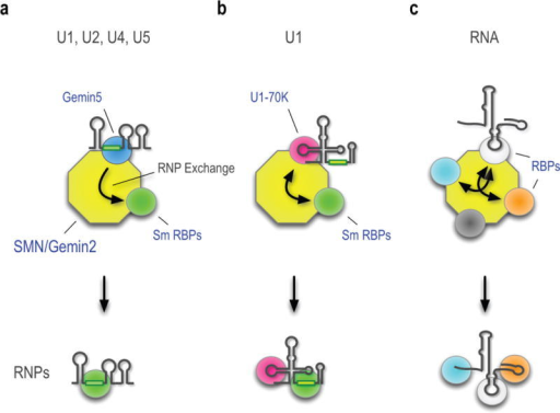 Schematic representation of SMN-Gemin2's function as a versatile hub for RNP exchangeThe different colored spheres represent the diverse RBPs that bind multivalent SMN-Gemin2. For simplicity, only the pre-snRNAs' key features relevant to this pathway are shown. (a) Gemin5, which recognizes the snRNP code common to all pre-snRNAs, is a drop-and-go donor that does not remain with the fully assembled Sm core. (b) U1-70K, a pre-U1's stem-loop 1 (SL1) binding protein associates with the SMN-Gemin2 and remains part of the completed Sm core. (c) A representative and hypothetical RNP, exemplified by FUS/TLS, associates with the SMN-Gemin2 as described in the text.