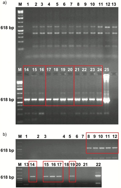 In vivo transfection study of tumor cells using AP-15-based complexes.Analyses of PCR products using DNA templates from: (a) B16-F10 tumors, injected with: 2-4- H2O, 5-7- AP-15/DOPE, 8-10- AP-15, 11-13- pSec, 14-16- pTIMP2, 17-20- AP-15/DOPE:pTIMP2 complexes, 21-24- AP-15:pTIMP2 complexes; 25- positive control for PCR (pTIMP2), (b) L1 tumors, injected with: 2-3- H2O, 4-5- AP-15, 6-7- AP-15/DOPE/DMEM, 8-14- AP-15:pTIMP2 complexes, 15-21- AP-15/DOPE/DMEM:pTIMP2 complexes; 25- positive control for PCR (pTIMP2). M- molecular weight size marker 1kb+, 1- reagent control for PCR.