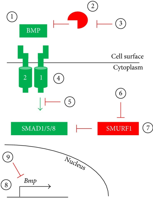 Potential strategies for modulating the BMP pathway. (1–3) The BMP pathway may be activated by exogenous natural or engineered BMP ligands or by expression of such ligands via gene transfer techniques (1). Ligand-induced BMP pathway activation may be inhibited by extracellular ligand traps, such as naturally-occurring antagonists or neutralizing antibodies, via delivery of recombinant protein or expression via gene transfer techniques (2). Endogenous extracellular BMP antagonists, such as Noggin or Chordin, may be inhibited via neutralizing antibodies or small molecules, resulting in increased BMP signaling (3). (4-5) The endogenous BMP pathway inhibitors FKBP12 and Casein Kinase 2 may be inactivated by delivery of FK506 and CK2.3, respectively, thereby increasing signal transduction (4). Alternatively, BMP receptor-mediated activation of the SMAD effectors may be blocked by kinase inhibitors (5). (6-7) Persistence of BMP signaling may be modulated by regulating the SMURF1-mediated ubiquitination of SMAD effector proteins by disrupting SMURF1 interaction with SMADs by small molecule inhibitors (6) or by increasing SMURF1 protein levels (7). (8-9) BMP pathway component expression may be elevated by increasing transcription or alleviating microRNA-mediated translational silencing (8). Alternatively, BMP pathway component levels may be reduced by reducing transcription and/or translation rates (9).
