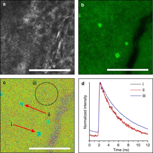 Direct comparison of local GREEN environment by FLIM.(a) Optical micrograph of ACC after extended exposure to reaction solution. (b) CFM reveals calcite embedded amongst bulk ACC, with greater fluorescence intensity associated with the crystalline phase compared with the amorphous. (c) FLIM micrograph revealing differences in fluorescent lifetime between crystalline (i and ii) compared with amorphous (iii). (d) Global fluorescence decays obtained for regions of interest i (black), ii (red) and iii (blue) in c yielding fluorescence lifetime τ=3.9, 3.9 and 5.2 ns, respectively. Scale bars, 20 μm (a–c).