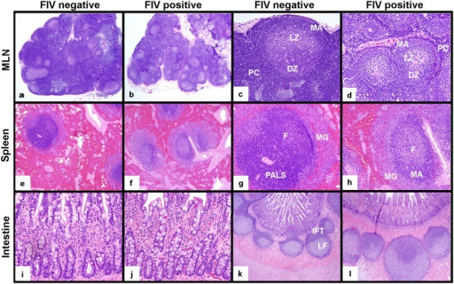 Histologic examination of MLN, spleen and intestine from FIV-infected progressor cats in the late asymptomatic phase and uninfected cats.MLNs from FIV-infected progressor cats were smaller in size and characterized by paracortical atrophy relative to those from uninfected cats (a,b, 20x). MLN follicles from FIV-infected cats revealed active germinal centers with less densely populated dark (DZ) and light zones (LZ), a prominent mantle zone (MA) and a thin, sparsely populated paracortical rim (PC) relative to uninfected cats (c,d, 100x). Spleens of infected progressor cats showed less densely populated white pulp that exhibited indistinct periarteriolar lymphoid sheaths (PALS), prominent active germinal center follicles (F) with expanded mantle (MA) and marginal zones (MG), relative to uninfected cats (e,f 40x, g,h 100x). Notable differences in intestinal mucosal architecture and leukocyte density were not observed between uninfected and FIV-infected cats (200x, i,j). Intestinal Peyer's patches (lymphoid follicles) of uninfected and infected cats both contained active germinal centers; however, interfollicular T-cell zones (IFT) were better demarcated in intestinal biopsies from uninfected cats relative to infected cats (k,l, 40x).