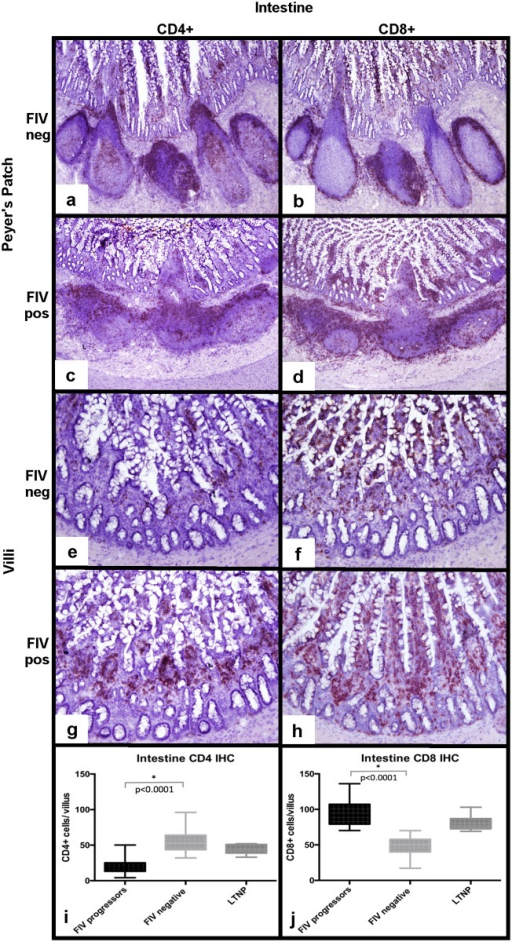 Determination of CD4+ and CD8+ leukocyte frequency within intestinal tissues from FIV-infected cats.Relative to the FIV-uninfected cats (a), FIV-progressor cats show a less discrete germinal center architecture, merging of follicles and patchy, sparsely populated interfollicular T-cell zones (c). T-cell zones of the Peyer's patches are expanded by CD8+ T-cells in FIV-progressor cats (d), relative to dense discrete CD8+ cell aggregates within tissues of the uninfected cats (b). Intestinal villus lamina propria of biopsies from FIV-progressor cats is nearly completely depleted of CD4+ leukocytes relative to uninfected cats (e,g,i). Interestingly, intestinal tissues from FIV-progressor cats show greater numbers of villus CD8+ T relative to uninfected cats (f,h,j).