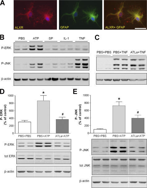 ATLa prevents ATP-evoked ERK and JNK phosphorylation in primary astrocyte cultures. (A) Representative images demonstrating that ALXR colocalizes with the astrocyte marker GFAP in cultured primary astrocytes. Bar, 50 μm. (B) Western blots probed for phosphorylated ERK and JNK in samples from primary astrocytes stimulated with ATP, SP, IL-1β, and TNF-α for 15 min. Incubation with 10 nM ATLa, starting 30 min before TNF-α stimulation, had no effect on JNK phosphorylation (C), whereas ATLa prevented both ERK and JNK phosphorylation evoked by ATP (D and E). Each bar represents the mean ± SEM (n = 4–5). *, P < 0.05 as compared with control; #, P < 0.05 as compared with PBS + ATP.