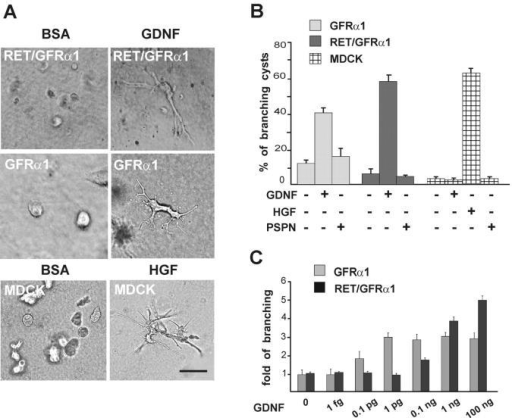 GDNF induces branching of GFRα1-expressing MDCK cells in three-dimensional collagen gel. (A) Ret/GFRα1- and GFRα1-expressing MDCK cells were grown in collagen gel with GDNF (100 ng/ml), and wild-type MDCK cells were grown in collagen gel with HGF (50 ng/ml). BSA (100 ng/ml) was used as a negative control. Bar, 100 μm. (B) GDNF induces branching of GFRα1 and Ret/GFRα1 cells but not wild-type MDCK cells, which only respond to HGF. Persephin (PSPN; 100 ng/ml) does not induce branching of any MDCK cell line tested. From the total number of cysts in the field, the percentage of cysts with long branches was calculated. Only the branches with the length of more than two cyst diameters were counted. (C) Dose dependency of the GDNF-induced branching of GFRα1- and Ret/GFRα1-expressing MDCK cells. GDNF concentrations are marked per ml. Results are reported as fold of branching cysts over the noninduced control. Means ± SEM of five to eight counted fields are shown. The results are representative of five (A and B) and three (C) independent experiments. (B and C) GDNF significantly increases branching in GFRα1- and Ret/GFRα1-expressing MDCK and HGF increases branching of wild-type MDCK (B) compared with the control media (P < 0.001).