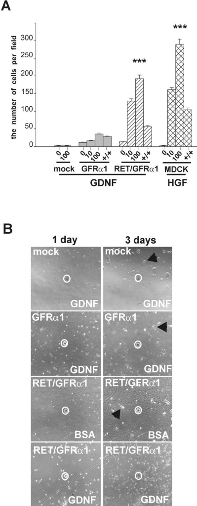 GFRα1-expressing, ret-deficient MDCK cells do not show a chemotactic response to GDNF. (A) In the Boyden chamber chemotaxis assay, the mock-transfected, GFRα1, and Ret/GFRα1 cells were exposed to GDNF (10 and 100 ng/ml), and wild-type MDCK were exposed to HGF (10 and 100 ng/ml). The number of cells was counted as described in Materials and methods. +/+, 100 ng/ml of GDNF or 50 ng/ml of HGF were added to both chambers to assay chemokinesis. The results represent the means ± SEM (n = 3). ***P < 0.001. (B) Chemoattraction assay on collagen matrix. Only Ret/GFRα1-expressing cells migrate toward GDNF-soaked beads. BSA-soaked agarose beads were used as negative control. Beads are marked by a white circle. Note that mock, GFRα1-expressing cells with GDNF-soaked beads and Ret/GFRα1-expressing cells with BSA-soaked bead form clusters of adherent cells (marked with arrowhead) after 3 d, whereas the Ret/GFRα1-expressing cells migrating toward the GDNF bead are scattered.