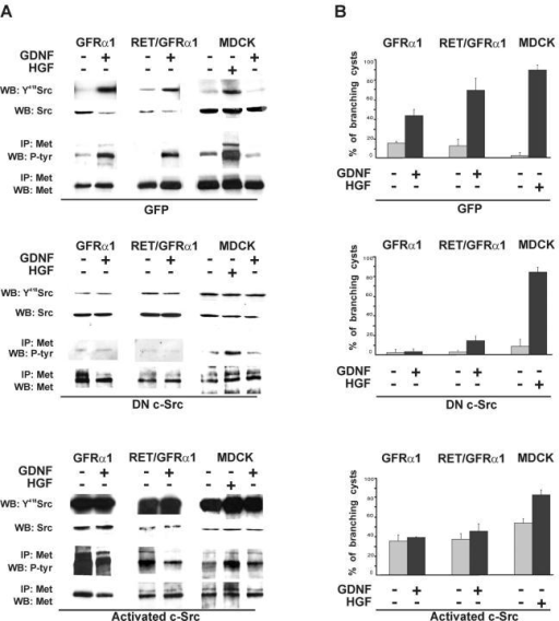 GDNF-induced branching tubulogenesis of GFRα1- and Ret/GFRα1-expressing cells require c-Src kinase. GFRα1- and Ret/GFRα1-expressing and wild-type MDCK cells were infected with adenovirus constructs containing DN c-Src, activated c-Src, or adeno-GFP. (A) GDNF-induced Met activation depends on c-Src kinase. 1 d after the adenovirus infection, GFRα1- and Ret/GFRα1-expressing MDCK cells were induced with GDNF (50 ng/ml) and wild-type MDCK also with HGF (50 ng/ml). Aliquots of total cell lysates were immunoblotted with anti-Y418 Src, and the rest of lysates were immunoprecipitated with anti-Met antibodies and immunoblotted using antiphosphotyrosine antibodies. The results are representative of two independent experiments. (B) After infection cells were put in collagen gel culture, GFRα1- and Ret/GFRα1-expressing cells were grown with or without GDNF (50 ng/ml), wild-type MDCK with or without HGF (50 ng/ml). After 3 d, the cells were fixed and counted as described in Materials and methods. The results are representative of three independent experiments.