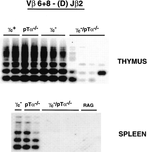 TCR-β rearrangements in thymus and spleen. Genomic  DNA from the indicated mice were amplified by PCR using a combination of primers specific for TCR Vβ6 and Vβ8 (sense) and a primer specific for the 3′ region of TCR Jβ2.5 (antisense). Amplification products  were detected by blot hybridization using a probe specific for the 5′ region of TCR Jβ2.5.