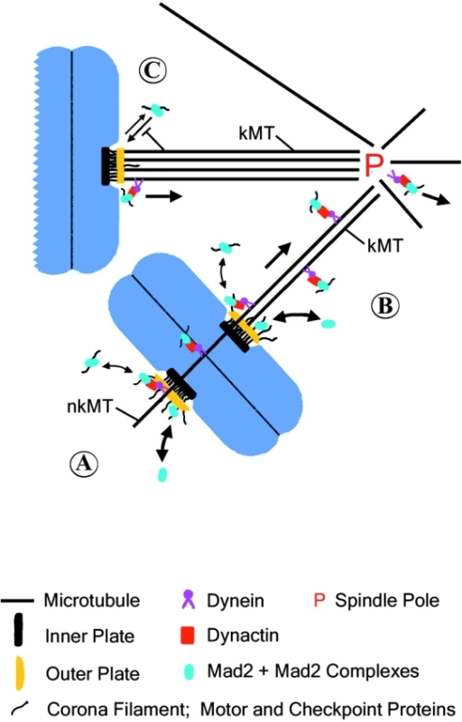 Model of dynein/dynactin-driven poleward transport of kinetochore proteins along spindle microtubules, and the role of this transport in inactivation of the spindle checkpoint activity at kinetochores. (A) Mad2 + Mad2 complexes (blue oval) and other motor and checkpoint proteins (corona filament) assemble from cytoplasmic pools onto unattached kinetochores where the checkpoint proteins catalyze formation of Mad2-Cdc20 inhibitory complexes. (B) Dissociation of Mad2 and other outer domain components occurs either by direct exchange with cytoplasmic pools or through dynein/dynactin-interactions with non-kinetochore (nkMT) or kinetochore (kMT) microtubules. Motor and checkpoint protein complexes are transported poleward by dynein/dynactin where they dissociate into the cytoplasm. (C) Full kinetochore microtubule occupancy on metaphase-aligned chromosomes prevents association of outer domain components, thereby blocking formation of Mad2–Cdc20 inhibitory complexes and allowing for spindle checkpoint inactivation.