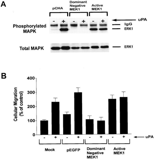 MEK is required for uPA-induced MAP kinase activation and motility stimulation. (A) MCF-7 cells were cotransfected to express HA-tagged ERK1 and the specified MEK mutants or the empty vector, pCHA. HA-tagged ERK1 was immunoprecipitated from cell extracts 1 min after treating the cells with 10 nM DIP-uPA (+) or with vehicle (−). Phosphorylated and total levels of ERK1 were determined by immunoblot analysis. (B) MCF-7 cells were transfected to express the specified MEK mutants and GFP, or GFP alone (pEGFP). Mock-transfected cells were treated with Superfect in the absence of cDNAs. Cells were allowed to migrate in the presence (+) or absence (−) of 10 nM DIP-uPA for 6 h on serum-coated membranes. Cellular migration of transfected cells was determined using fluorescence microscopy to detect GFP-expressing cells. Migration of mock-transfected cells was determined by Diff-Quik staining. Mock-transfected cells migrated identically to MCF-7 cells that were not Superfect-treated, in the presence and absence of uPA (data not shown). To compare results obtained with GFP-expressing and mock-transfected cells, the number of GFP-expressing cells that penetrated the membrane was divided by the transfection efficiency. For each bar, cellular migration is expressed as a percentage of that observed with mock-transfected cells that were not treated with DIP-uPA.