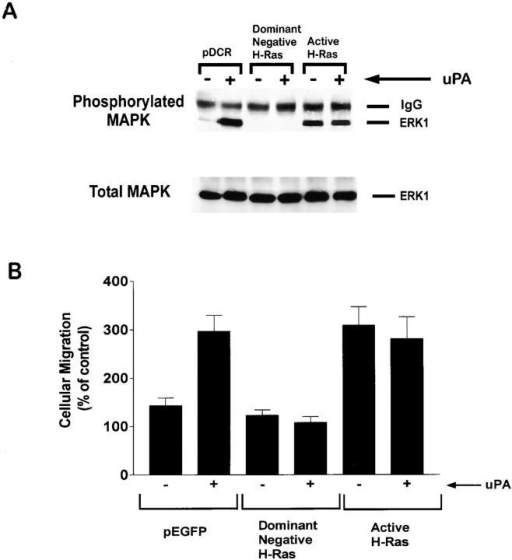 Ras is required for uPA-induced MAP kinase activation and MCF-7 cell migration. (A) MCF-7 cells were cotransfected to express HA-tagged ERK1 and dominant-negative H-Ras, constitutively active H-Ras, or the empty vector, pDCR. The cells were then treated with 10 nM DIP-uPA (+) or vehicle (−) for 1 min. HA-tagged ERK1 was recovered by immunoprecipitation. Phosphorylated and total levels of ERK1 were determined by immunoblot analysis. (B) MCF-7 cells were transfected to express the specified H-Ras mutants and GFP or GFP alone. The cells were then treated with 10 nM DIP-uPA (+) or vehicle (−) and allowed to migrate for 6 h on serum-coated membranes. Cellular migration was standardized to that observed with mock-transfected cells that were not uPA-treated.