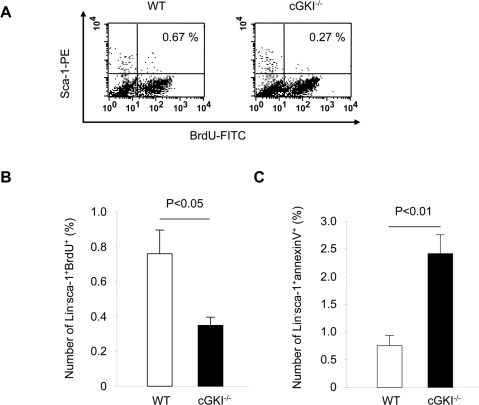Functional capacity of BMC from cGKI−/− and WT mice.(A) Representative FACS analysis of Lin− BMC after pulsing with BrdU for 1 h and staining with BrdU-FITC and sca-1-PE. (B) Proliferation (BrdU+) of sca-1+Lin− bone marrow progenitor cells from cGKI−/− and WT mice (gated on lymphocyte-monocyte fraction; n = 4). (C) Apoptosis (annexinV+) of sca-1+Lin− bone marrow progenitor cells from cGKI−/− and WT mice (gated on lymphocyte-monocyte fraction; n = 3).