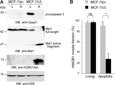 The lack of caspase-3 expression in MCF-7 cells abolishes H2BS14 phosphorylation and preserves HMGB1 mobility in the nucleus of apoptotic cells.(A) Proliferating (L) and apoptotic (A) MCF-7/pv and MCF-7/c3 cells were probed by Western blotting. MCF-7 cells, which lack caspase-3, do not cleave Mst1 during apoptosis and do not phosphorylate histone H2B. Mst1 cleavage and H2B phosphorylation are re-established after caspse 3 re-expression. (B) FRAP experiments were performed in proliferating and apoptotic MCF-7/pv and MCF-7/c3 cells transiently transfected with HMGB1-GFP. The results are expressed as the mean +/− standard deviation (n = 16). The asterisk indicates that the difference in the fraction of mobile HMGB1-GFP between apoptotic MCF-7/pv and MCF-7/c3 cells is highly significant (P<0.001, unpaired t-test).