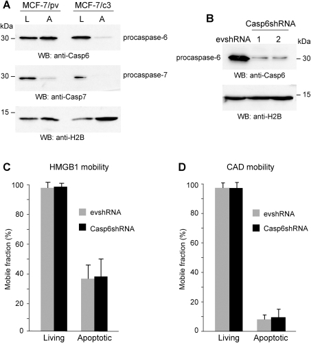 Neither HMGB1 nor CAD immobilization onto apoptotic chromatin depend on caspase-6 expression.(A) Western blot of living (L) and apoptotic (A) MCF-7/pv and MCF-7/c3 cells. Caspase-7, but not caspase-6, is activated in MCF-7/pv forced to undergo apoptosis using TNF-α and CHX. Both caspases are activated in apoptotic MCF-7/c3 cells. (B) HeLa cells were stably transfected with Casp6shRNA or with the empty vector (evshRNA). Western blots show that caspase-6 expression is severely reduced in casp6shRNA HeLa cells. (C) FRAP experiments were performed in living and apoptotic evshRNA and casp6shRNA HeLa cells transiently transfected with HMGB1-GFP. The results are expressed as the mean +/− standard deviation (n = 20). (D) FRAP experiments were performed in living and apoptotic evshRNA and casp6shRNA HeLa cells transiently transfected with CAD-GFP. The results are expressed as the mean +/− standard deviation (n = 20).