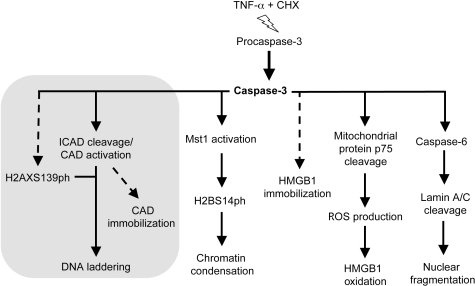 Cause-effect relationships in nuclear events during apoptosis.Broken lines indicate incomplete knowledge: intermediate steps might be missing, or causation is only inferred. Continuous lines indicate direct cause-effect relationships. The grey area groups events that appear interconnected downstream of caspase-3 actiavtion: histone H2AX phosphorylation, ICAD cleavage, CAD activation, DNA laddering and CAD immbilization.