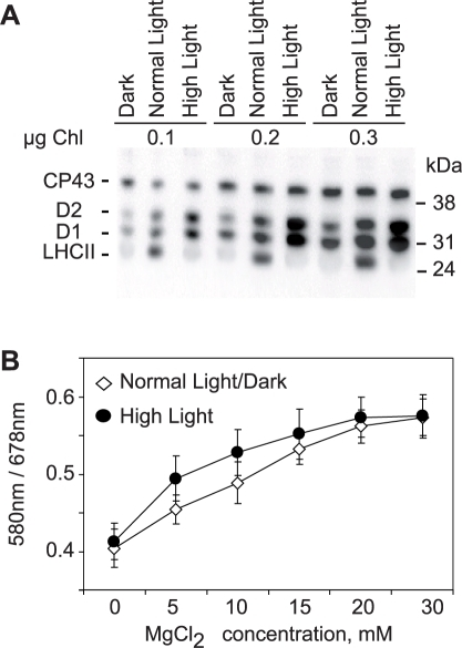 High Light Induced Increase In PSII Phosphorylation And Its Effect On MgCl2 Dependence Of Thylakoid