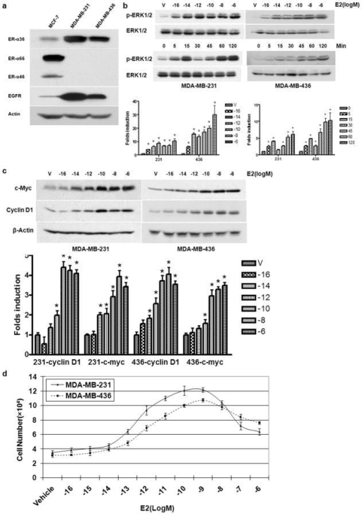 Non-Genomic Estrogen Signaling Stimulates Proliferation of ER-negative Breast Cancer Cells(a). The expression of ER-α variants and EGFR in MCF7, MDA-MB-231 and MDA-MB-436 breast cancer cells. (b). The dose and time dependent pattern of E2β-stimulated phosphorylation of the MAPK/ERK1/2 in MDA-MB-231 and MDA-MB-436 cells. Starved cells were treated with indicated doses of E2β or 0.1 nM of E2β for indicated time periods. Western blot analysis was performed to assess induction of ERK1/2 phosphorylation. The columns represent the means of three experiments; bars, SE. *, P<0.05 for control cells vs cells treated under different conditions. The representative results are shown. (c). The dose dependent induction c-myc and cyclin D1 by E2β in MDA-MB-231 and MDA-MB-436 cells. The columns represent the means of three experiments; bars, SE. *, P<0.05 for cells treated with vehicle vs cells treated different concentrations of E2β. The representative results are shown. (d). The effects of E2β on the proliferation rate of MDA-MB-231 and MDA-MB-436 cells. Cells maintained for three days in phenol red-free DMEM plus 2.5% dextran-charcoal-stripped fetal calf serum were treated with indicated concentrations of E2β or ethanol vehicle as a control. The cell numbers were determined using an automatic cell counter after 12 days. Five dishes were used for each concentration and experiments were repeated more than four times. The mean cell numbers ± SE are shown.