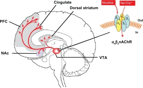 Brain Diagram Vta Electrical Work Wiring Diagram