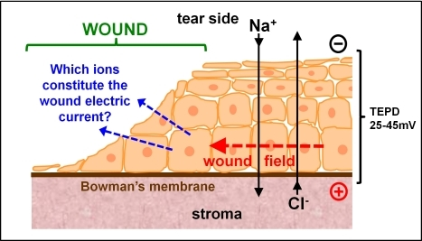 Which ions contribute to the wound electric current?The corneal epithelium transports ions to generate and maintain a transepithelial potential difference (TEPD) of ∼25–45 mV. Injury breaks the epithelial barrier and collapses the potential at the wound (left). The positive potential in the surrounding intact epithlium drives ion current flow out of the wound (blue arrows) and forms laterally-orientated wound electric fields (red arrow) with the wound the cathode.