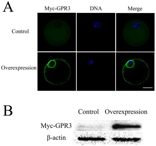 The efficiency of GPR3 overexpression.(A) Immunofluorescence detection of GPR3 overexpression. Control: oocytes were injected with 2.5 mg/ml Myc6 mRNA solution; Overexpression: oocyets were injected with 2.5 mg/ml Myc6-GPR3 mRNA solution. Green, Myc6-GPR3; Blue, chromatin. Bar = 40 µm. (B) Samples from control and overexpression groups were collected to test the expression of Myc6-GPR3. Control: 150 oocytes injected with 2.5 mg/ml Myc6 mRNA solution; Overexpression: 150 oocytes injected with 2.5 mg/ml Myc6- GPR3 mRNA solution. Oocytes were then incubated for 15 h in TCM-199 medium containing 2.5 µM Milrinone before collection or culture for western blotting.