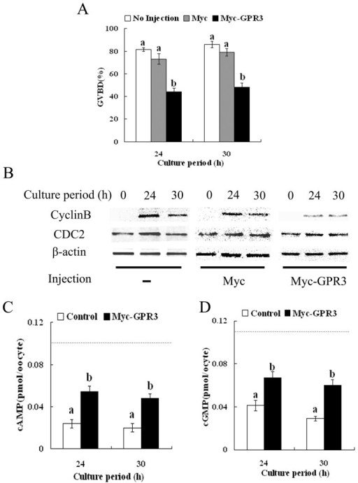 "Overexpression of GPR3 inhibits meiotic resumption in porcine oocytes.(A) Oocytes cultured in normal medium without HX were injected with 2.5 mg/ml Myc6-GPR3 or control Myc6 and then cultured for 24 h or 30 h. The GVBD rates of the injected oocytes are shown along with non-injected oocytes. (B) Cyclin B (upper panel) and CDC2 (middle panel) levels were detected by western blot using 150 oocytes in each sample. The results are shown along with those of non-injected oocytes cultured without HX. Samples were collected after culture in medium without HX at 0 h, 24 h and 30 h. (C) cAMP levels of porcine oocytes in the Myc6-GPR3 injection group and control Myc6 injection group after culture without HX at 24 h or 30 h. Dotted line represents cAMP level at time 0. (D) cGMP levels of porcine oocytes in the Myc6-GPR3 injection group and control Myc6 injection group after culture without HX at 24 h or 30 h. Dotted line represents cGMP level at time 0. The number ""n"" on top of the bars indicates the total number of treated oocytes in each group. Data are shown as mean ± SEM of at least three repeated experiments and letters 'a' and 'b' indicate statistically significant difference (p<0.05)."