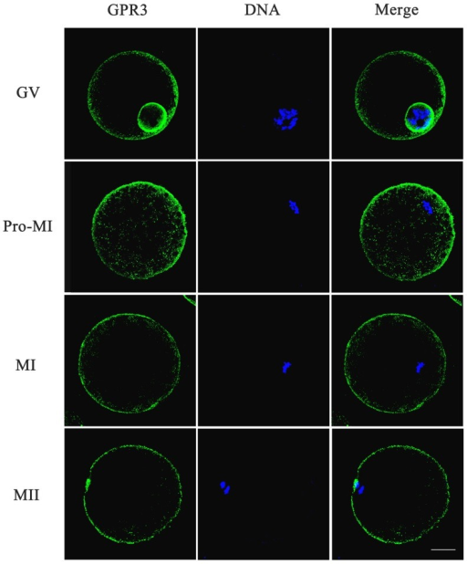 The effect of SPC on distribution of GPR3 in porcine oocytes.Distribution of GPR3 in oocytes after treatment with SPC was revealed by immunofluorescent staining. In the GV stage, GPR3 was mainly distributed at the nuclear membrane and plasma membrane. GPR3 accumulated in the inner cytoplasm and plasma at the pro-MI stage. From MI to MII stages, GPR3 aggregated at the plasma membrane. Green, GPR3; Blue, chromatin. Bar = 40 µm.