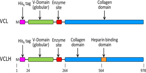 Schematic diagrams showing the VCL and VCLH constructs. Base pair numbers are indicated below the schematics. The His-Tag and Enzyme Site domains have been added to the naturally occurring S. pyogenes Scl2.28 gene [15] as previously described [25].