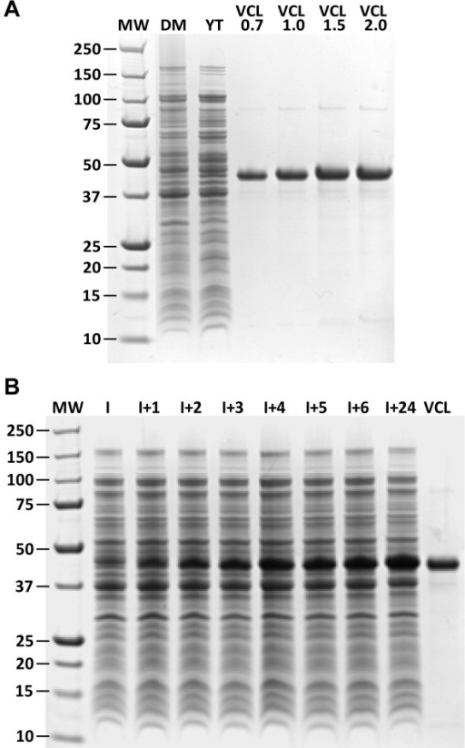 SDS-PAGE analysis of protein expression.(A) Protein expression in shake flask cultures. MW, molecular weight standards; DM, defined medium; YT, complex medium (2xYT) and purified VCL protein standards 0.7 to 2.0 μg. (B) Protein expression time course, fed-batch process with stepwise temperature reduction after induction. MW, molecular weight standards; I, pre-induction; I + 1 to I + 24 hours after induction; VCL, purified VCL standard.