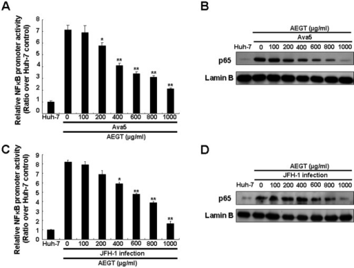 AEGT suppression of HCV-induced NF-κB activation.(A) Concentration-dependent reduction of NF-κB promoter-linked luciferase activity in AEGT-treated HCV replicon cells. Ava5 cells were transfected with the reporter plasmid pNF-κB-Luc in the presence of AEGT at indicated concentrations for 3 days. Total cell lysates were prepared for luminescence detection using the Steady-Glo Luciferase Assay Kit (Promega). Non-treated Huh-7 cells served as the basal control, which is defined as 1. (B) Concentration-dependent reduction of nuclear p65 protein levels in AEGT-treated HCV replicon cells. Nuclear extracts were prepared from AEGT-treated Ava5 cells and subjected to Western blot analysis using anti-NF-κB p65 and laminB antibodies, in which lamin B was used as a nuclear fraction control. (C) Concentration-dependent reduction of NF-κB promoter-linked luciferase activity by AEGT in JFH-1-infected Huh-7 cells. After 6 h of JFH-1 infection, Huh-7-infected cells were treated with AEGT at indicated concentrations for 3 days. Non-infected Huh-7 cells served as the basal control, which is defined as 1. Luciferase activity assay was performed as described above. (D) Concentration-dependent reduction of nuclear p65 protein levels by AEGT in JFH-1-infected Huh-7 cells. Western blot analysis was performed as described above. Each value was represented as the mean ± SD of three independent experiments. *P<0.05; **P<0.01.