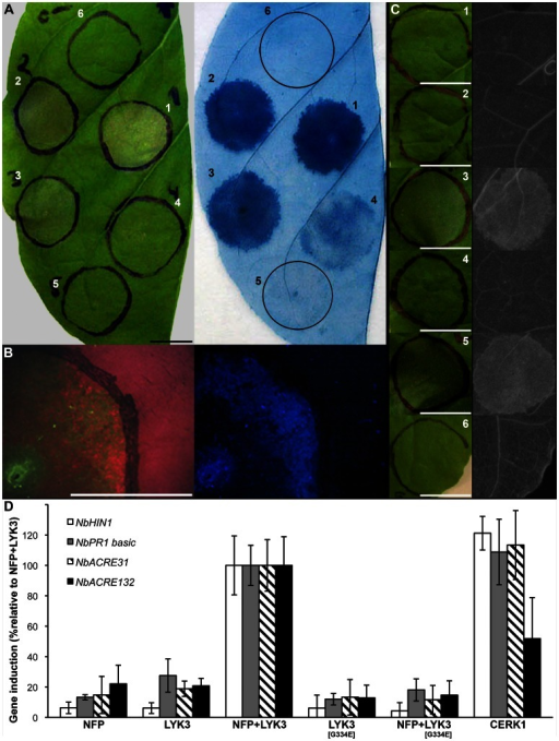 MtNFP and MtLYK3, or AtCERK1 (co-)production in Nicotiana leaves induces defence-like responses.A, Kinetics of cell death development in Nicotiana. Agrobacterium transformants carrying either MtNFP-3xFLAG or MtLYK3-3xFLAG construct were co-infiltrated into Nicotiana leaves at five different time points (1–5). Macroscopic observation (left panel) and subsequent Evans blue staining (right panel) are depicted 42 hai (region 1), 39 hai (region 2), 36 hai (region 3), 33 hai (region 4) and 30 hai (region 5). Mock infiltration (region 6) was done concomitantly with the infiltration of region 1. Bar is 1 cm. B, Changes in leaf autofluorescence upon MtNFP and MtLYK3 co-production. Leaf regions co-producing MtNFP-3xFLAG and MtLYK3-3xFLAG fusions were analyzed between 24 and 48 hai (here depicted 36 hai) using a stereoscope. Note the decrease in chlorophyll content, as indicated by the decrease of far-red autofluorescence of chlorophyll (left panel), and enhanced accumulation of blue light-excited autofluorescence (right panel) within the infiltrated region. Bar is 1 cm. C, Accumulation of phenolic compounds. The following fusions were (co-)produced in Nicotiana leaves: MtNFP-3xFLAG (1); MtLYK3-3xFLAG (2); MtNFP-3xFLAG+MtLYK3-3xFLAG (3); MtNFP-3xFLAG+MtLYK3[G334E]-3xFLAG (4); AtCERK1-3xFLAG (5); or AtCERK1[K349]-3xFLAG (6). Macroscopic observations (left panel) and subsequent UV-excited autofluorescence of ethanol/lactophenol-cleared (right panel) leaf regions are depicted 36 hai (except for 5–30 hai). Bars are 1 cm. D, Induction of NbHIN1, NbPR1 basic, NbACRE31, and NbACRE132 expression in response to separate production or co-production of: MtNFP-3xFLAG (NFP), MtLYK3-3xFLAG (LYK3), MtLYK3[G334E]-3xFLAG (LYK3[G334E]), and AtCERK1-3xFLAG (CERK1). Leaf samples were collected 24 hai and induction of gene expression was analyzed using qRT-PCR. Histograms represent induction of NbHIN1 (white columns), NbPR1 basic (grey columns), NbACRE31 (hatched columns), and NbACRE132 (black columns) normalized by one reference gene, MtEF1 α. Induction of each gene was normalized to that caused by mock infiltration, and then calculated as % induction relative to the induction observed upon co-production of MtNFP and MtLYK3 fusions. Bars represent standard deviation of the mean. At least two technical replicates from two biological replicates were analyzed.