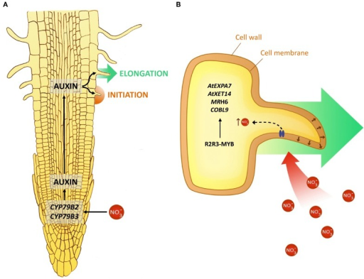 an analysis of the regulatory functions of plant cells After running through all the steps described in chapter 19 for cloning and nucleotides regulatory functions signal transduction transcription plant cells do.