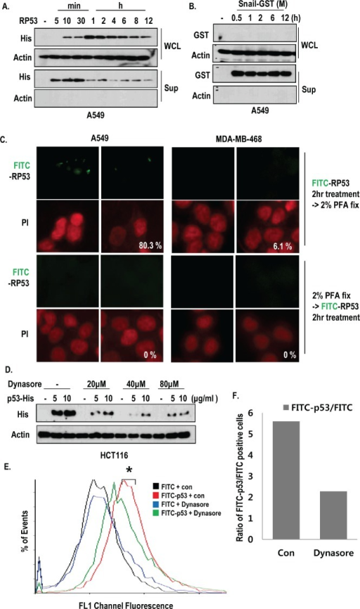 Active internalization of p53 core domain occurs by K-Ras dependent manner(A-B) K-Ras dependent endocytosis was a p53-specific event. RP53 and recombinant Snail (Snail middle region; GST tag; 91-121 amino acids (AA)) were treated in a time-dependent manner for up to 12h in the K-Ras harboring A549 cells. The endocytosis levels were measured by western blot analysis using the indicated antibodies. (C) Internalization of RP53 was appeared through active mechanism. Cells were divided into two groups; one group was incubated with FITC-p53 first and then fixed with 2% PFA, while the other group was exposed to PFA before FITC-p53 treatment. Both groups were stained with PI (propidium iodide; Red) for nuclear staining. (D) Dynamin inhibitor remarkably reduced endocytosis of RP53 in HCT116 cells. After incubation with Dynasore (from 20 to 80 μM) for 3 h, cells were treated with FITC or FITC-p53 for 1 h as an indicated dose. After washing with PBS, cells were harvested and subjected to SDS-PAGE. Western blot analysis was performed with indicated antibodies. (E) Decreased internalization of RP53 in A549 was measured by FACS analysis. (F) Internalized RP53 was quantified by graph. Numbers of Y-axis showed the value of FITC-p53 positive portion/FITC positive portion. After incubation with Dynasore (80 μM) for 3 h, cells were treated with FITC or FITC-p53 (2 μg/ml) for 1 h.