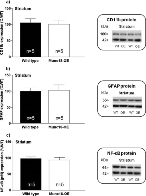 Immunodensities of (a) CD11b, (b) GFAP and (c) NF-κB (p65) proteins with representative immunoblots in striatum from Munc18-OE (n = 5) and wild-type (n = 5) mice. Bar graphs are ratios of optical densities of our proteins of interest to β-actin (42 kDa band), expressed as immunoreactivity in percentage of mean value of the WT group (100%). No differences were detected between groups for any of the analyzed proteins. Right panels are representative immunoblots for target proteins and β-actin which included Munc18-OE (OE) and wild-type (WT) mice samples. The molecular masses were estimated from referenced standards.