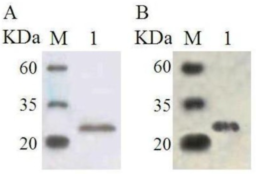Western blot analysis of rgVEGF164. (A) Western blot analysis of rgVEGF164 with monoclonal anti-His antibody. Lane 1, purified rgVEGF164; M, PM Western Midview Marker (CW0021, Beijing ComWin Biotech Co. Ltd., Beijing, China). (B) Western blot analysis of rgVEGF164 with monoclonal anti-VEGF antibody. Lane 1, purified rgVEGF164; M, PM Western Midview Marker (CW0021, Beijing ComWin Biotech Co. Ltd., China). VEGF, vascular endothelial growth factor; rgVEGF164, recombinant goat VEFG164.