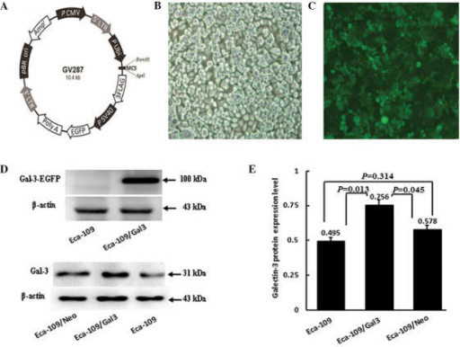 Enhanced green fluorescent protein (EGFP) + galectin-3 (Gal-3) immunosignals (100 kDa) were detected in the Eca-109/Gal-3 cells but not in Eca-109 cells without galectin-3 transfection. (A) GV287 plasmid carrier, AgI cleavage. (B) Non-transfected Eca-109 human esophageal cancer cells. (C) (Gal-3)-transfected Eca-109 cells exhibited transfection efficiency >95%. (D and E) Western blot analysis of Gal-3 expression levels in Eca-109, Eca-109/Gal-3 and Eca-109/Neo cells. Gal-3 immunosignals (31 kDa) were detected in Eca-109, Eca-109/Gal-3 and Eca-109/Neo cells. However, signal densities were significantly stronger in Eca-109/Gal-3 cells than in either Eca-109 or Eca-109/Neo cells (P=0.013 and P=0.045, respectively). No significant differences in signal density were detected between Eca-109 and Eca-109/Neo cells (P=0.314).