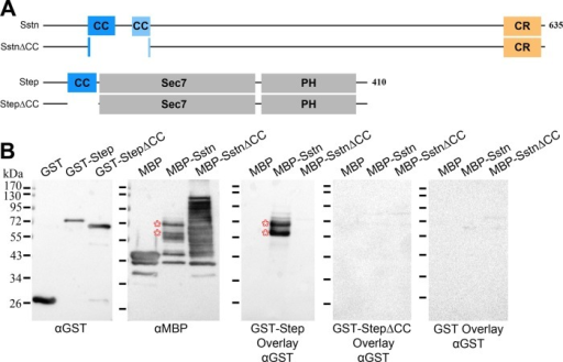 Mapping a direct interaction between the coiled-coil domains of Sstn and Step. (A) Sstn and Step constructs used in the binding assays. (B) Blot overlays showing binding of GST-Step to major MBP-Sstn proteolytic fragments (asterisks) but not to higher levels of MBP or MBP-Sstn∆CC fragments. GST and GST-Step∆CC showed no binding to the MBP-Sstn proteolytic fragments, despite incubation at higher levels than GST-Step (see left blot for the relative GST, GST-Step, and GST-Step∆CC protein levels used for the overlays shown). The overlay blots were probed and imaged side by side with identical reagents and settings. The overall results were replicated in a separate complete analysis.