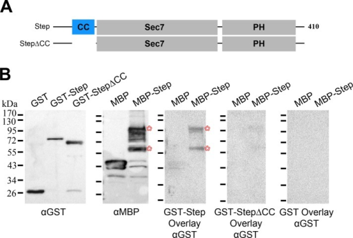 The Step coiled-coil domain mediates Step homodimerization. (A) Step constructs used in the binding assays. (B) Blot overlays showing binding of GST-Step to MBP-Step (asterisks) but not to higher levels of MBP. GST-Step∆CC showed much-reduced binding to MBP-Step, and GST showed no binding to MBP-Step, despite incubation of both at higher levels than GST-Step (see left blot for the relative GST, GST-Step, and GST-Step∆CC protein levels used for the overlays shown). The overlay blots were probed and imaged side by side with identical reagents and settings. The overall results were replicated in a separate complete analysis.
