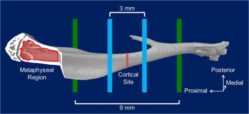 Location of mechanical tests and micro-computed tomography (μCT) regions of interest.The diaphysis of each bone was loaded using 4-point bending with the medial surface in tension. The bottom support points (green) were located 9mm apart and the top loading points (blue) were located 3mm apart. The metaphyseal region used for trabecular analyses began just distal to the growth plate in the proximal metaphysis and extended distally by 12% of the overall bone length. The cortical standard site was located 45% the total bone length from the proximal growth plate. Strain gauges used for calibration were in the region spanning the cortical standard site on the anteromedial surface.