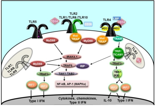 Schematic cartoon of Toll-like receptor (TLR) signaling [17,24,27,28,29,30]. Extracellular TLR homodimers (TLR4 and TLR5) are represented in black; heterodimers of TLR2 and TLR1, TLR6 or TLR10 are indicated in black/green. Intracellular homodimers (TLR3, TLR7, TLR8 and TLR9) are indicated in gray.
