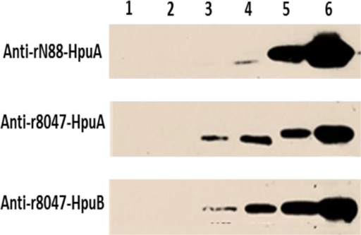 Reactivity of anti-rHpuA and anti-rHpuB antisera with HpuAB in meningococcal lysates.Meningococcal cells of strain 8047, an isogenic Δhpu mutant and two phase variants of a carriage strain (N88.1, hpu-OFF; and N272.1, hpu-ON) were grown to mid-log (OD600 = ~0.5) before 30 μM of desferal was added to produce iron-limited conditions. Cultures were also grown concurrently in iron-replete conditions. All cultures were incubated for two hours before heat-inactivation at 56°C overnight. Lysates were prepared using an equal number of OD units and subject to SDS-PAGE electrophoresis and Western blotting. Blots were then probed with 1:500 dilutions of mouse polyclonal sera followed by a 1:2000 dilution of an anti-mouse IgG HRP-conjugate:- upper panel, anti-rN88-HpuA; middle panel, anti-r8047-HpuA; lower panel anti-r8047-HpuB. Lysates were from:- strain N88.1, induced (lane 1); 8047ΔhpuAB, induced (lane 2); wild-type 8047, uninduced (lane 3); wild-type 8047, induced (lane 4); N272.1 uninduced (lane 5); and N272.1 induced (lane 6).