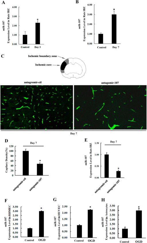 Increased miR-107 in IBZ promotes angiogenesis in rat after pMCAO.(A,B) qRT-PCR showed the expression of miR-107 was increased in the IBZ of rats subjected to pMCAO on 3rd and 7th day. *P < 0.05, vs. control group. (C) Capillary density was evaluated by FITC tail vein injection, and then the vessel number was quantified by FITC (green). (D) Quantification of capillary density. Data are presented as mean ± SD. Scale bar = 10 μm in D (applies to C). *P < 0.05, vs. antagomir-ctl. (E) qRT-PCR showed the expression of miR-107 after lateral cerebral ventricle injection of antagomir-107 on day 7 after pMCAO. *P < 0.05, vs. antagomir-ctl. (F) Exposure to OGD for 12 h increases miR-107 expression in RBMECs demonstrated by using qRT-PCR. (G) HUVECs. (H) Astrocytes. Data are presented as mean ± SD. *P < 0.05, vs. control group.
