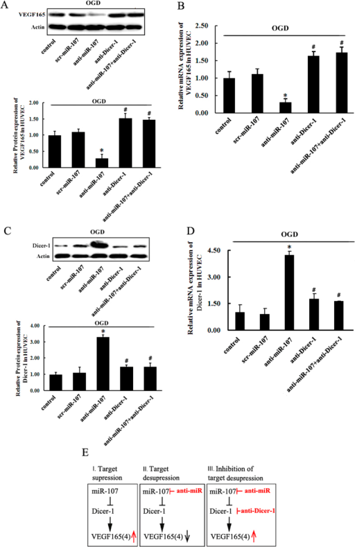 miR-107 regulates the expression of endogenous VEGF165 or VEGF164 via Dicer-1 by miR-107.(A) Representative picture and analysis diagram show the protein levels of VEGF165 or Dicer-1 in HUVECs as determined by Western blotting. (B) The expression of Dicer-1 was decrease in the miR-107-transfected HUVECs. Under hypoxia, down-regulation of Dicer-1 could strongly induce mRNA expression of VEGF165 in anti-miR-107-transfected HUVECs. (C,D) RBMECs. (E) Schematic illustration of target supression by miR-107 (left), target desupression by anti-miR-107 treatment (center), and inhibition of the latter by lentivirus-mediated RNA interference with Dicer-1 (right). Data are presented as mean ± SD. *P < 0.05, vs. control group, #P < 0.05, vs. anti-miR-107 group.