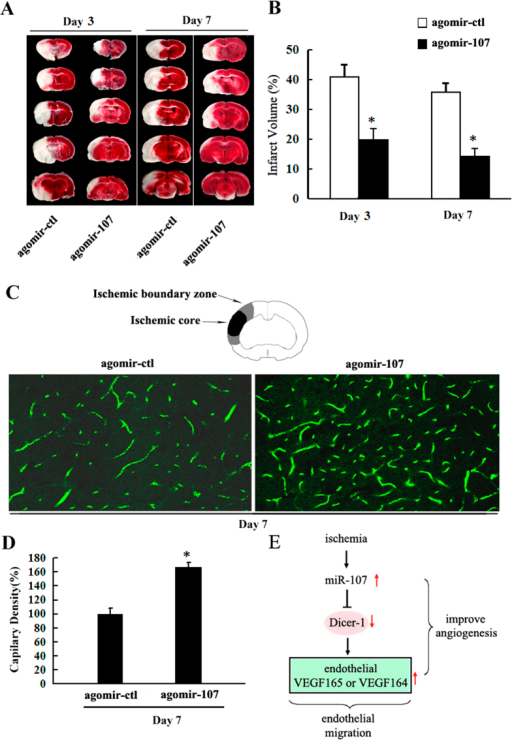 Therapy with miR-107 Improves Angiogenesis after pMCAO.(A) TTC staining. (B) Quantitative analysis showed that agomir-107 treatment significantly reduced the infarct volume as compared to the agomir negative control group (agomir-ctl). (C) Capillary density was evaluated by FITC tail vein injection, and then the vessel number was quantified by FITC (green). (D) Quantification of capillary density. Data are presented as mean ± SD. *P < 0.05, vs. agomir-ctl group. (E) Scheme of miR-107-regulated target and down-stream signaling cascades.